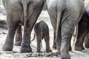 epaselect epa04324704 A baby elephant stands between his mother and aunt in the zoo in Emmen, Netherlands, 20 July 2014. The boy, who was born early morning, is the last offspring of male elephant Radza, who died in October 2013.  EPA/FERDY DAMMAN